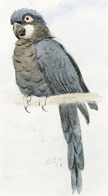 Hyancinth Macaw Print by Henry Stacey Marks