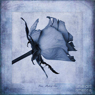 Hybrid Tea Rose Cyanotype Print by John Edwards