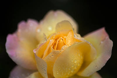 Memorial Garden Photograph - Hybrid Tea Rose In The Irish National by Panoramic Images