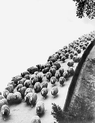 Hyde Park Photograph - Hyde Park Sheep Flock by Underwood Archives