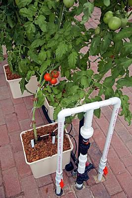 Spinach Photograph - Hydroponic Tomatoes At A Hospital Farm by Jim West