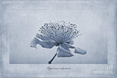 Isolated Digital Art - Hypericum Calycinum Cyanotype by John Edwards