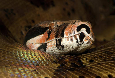 Boa Constrictor Photograph - Hypo Colombian Boa by Nigel Downer