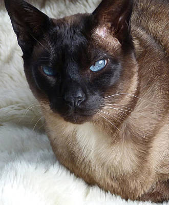 I Am A Tonkinese Print by Margaret Saheed
