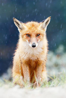 I Can't Stand The Rain  Fox In A Rain Shower Print by Roeselien Raimond
