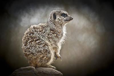 I Spy A Meerkat Original by Chris Boulton