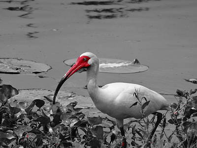 Ibis In Brazos Bend State Park Print by Dan Sproul