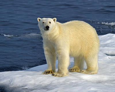 Ice Bear Print by Tony Beck