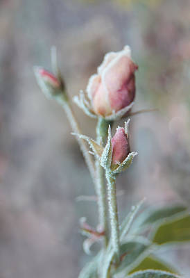 Ice Princess Pink Rose Bud Print by Jennie Marie Schell
