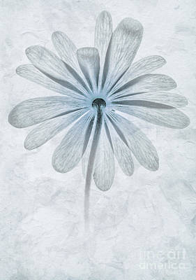 Iced Anemone Print by John Edwards