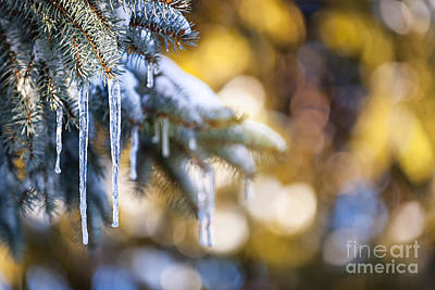 Icicles On Fir Tree In Winter Print by Elena Elisseeva