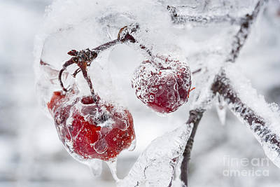 Hoarfrost Photograph - Icy Branch With Crab Apples by Elena Elisseeva