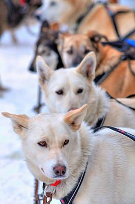 Iditarod Team Print by Ron Day