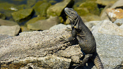 Iguana Photograph - Iguana by Aged Pixel