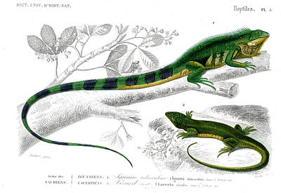 Iguana And Green Lizard Print by Collection Abecasis