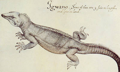 Fauna Painting - Iguana by John White
