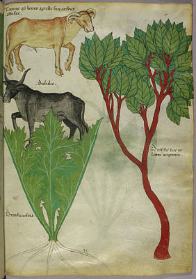 Illustration Of Plants And Bulls Print by British Library