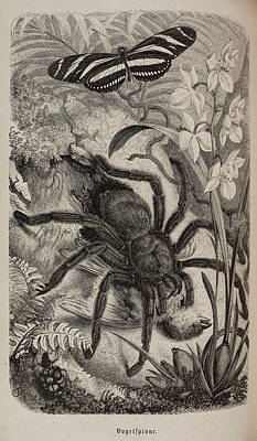 Illustration Of Tarantula And Butterfly Print by British Library
