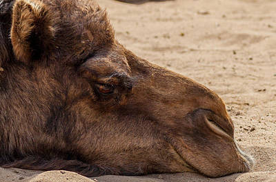 Camel Photograph - I'm Bored by Steven Reed