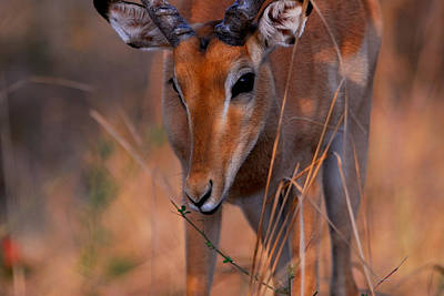 Impala Grazing Print by Stefan Carpenter