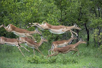 Impala Herd Running Sabi-sands Game Print by Sergey Gorshkov