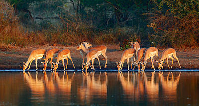 Golden Light Photograph - Impala Herd With Reflections In Water by Johan Swanepoel