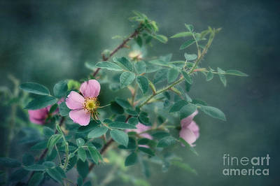 Prickly Wild Rose Photograph - Imperfect Beauty by Priska Wettstein