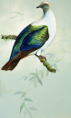 Pigeon Drawing - Imperial Fruit Pigeon by Bert Illoss
