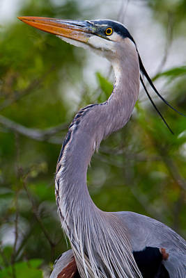 Imperial Great Blue Heron Print by Andres Leon