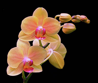 Orchids Photograph - In Bloom by Rona Black