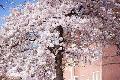 In Its Glory. Pink Spring In Amsterdam Print by Jenny Rainbow