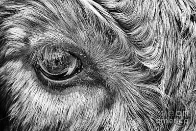 Steer Photograph - In The Eye by John Farnan