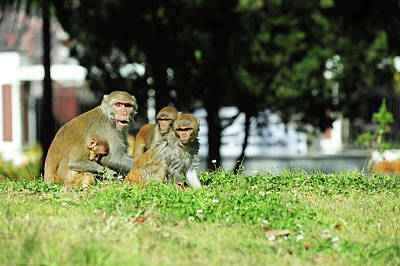 Candid Photograph - India, West Bengal, Darjeeling, Monkey by Anthony Asael