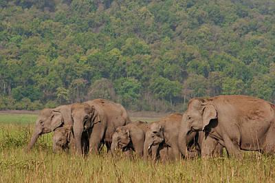 Large Mammals Photograph - Indian Asian Elephants by Jagdeep Rajput
