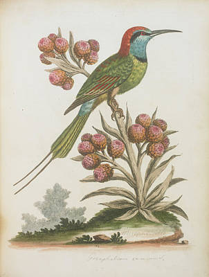 Categories Photograph - Indian Bee-eater by British Library