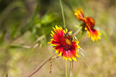 Texas Photograph - Indian Fire Wheels With Bee by Mark Weaver
