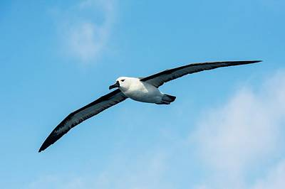 Albatross Photograph - Indian Ocean Yellow-nosed Albatross by Peter Chadwick