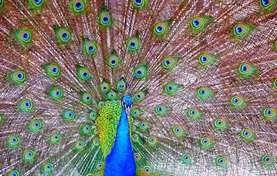 Indian Peacock Print by Deena Stoddard