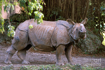 One Horned Rhino Photograph - Indian Rhinoceros by Mark Newman