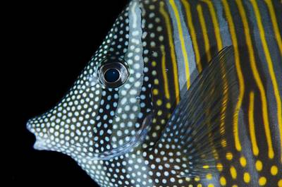 Indian Sailfin Tang In The Maldives Print by Science Photo Library