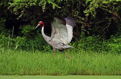 Indian Saras Crane, Walking Print by Jagdeep Rajput