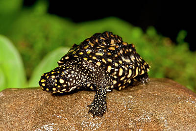 Pond Turtle Photograph - Indian Spotted Pond Turtle, Geoclemys by David Northcott