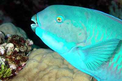 Indian Steephead Parrotfish On A Reef Print by Louise Murray
