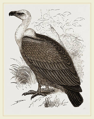 Vulture Drawing - Indian Vultn Re by Litz Collection