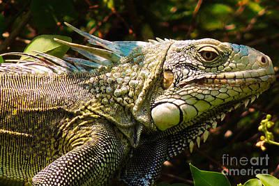 Iguana Photograph - Indigenous by Paul Smith