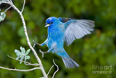 Bunting Photograph - Indigo Bunting Alighting by Anthony Mercieca