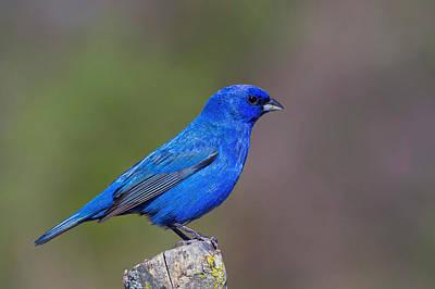 Bird Photograph - Indigo Bunting by John Absher