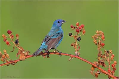Birds Photograph - Indigo Bunting On Wild Berries by Daniel Behm