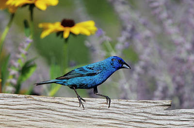 Bunting Photograph - Indigo Bunting (passerina Cyanea by Richard and Susan Day