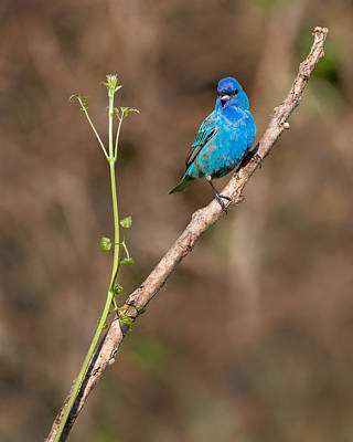 Bunting Photograph - Indigo Bunting Portrait by Bill Wakeley